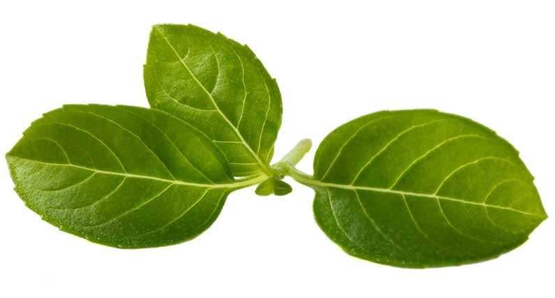 busuiocul verde